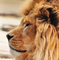 Portrait Lion by LOmbre24