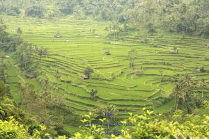 Rice Terrace in Bali by DOBBIE3864