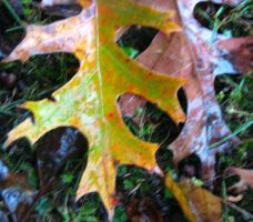Fall Leaves 7 by Holly6669666
