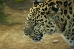 Leopard close up by James-Marsh