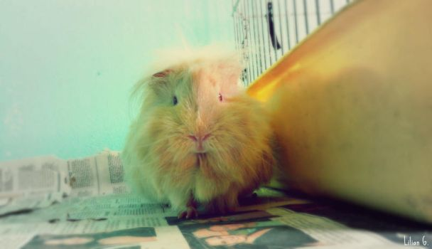 A Little Guinea Pig by Annabel158