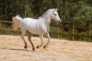 Arab cantering side on 4 by Chunga-Stock