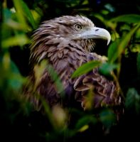 White-tailed sea eagle by rosscaughers