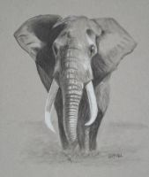 African Elephant by Eddyfying