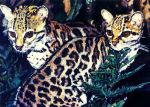 Margay Cats by Ggsoulsister