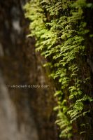 Moss on stone by frankrizzo