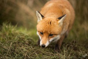 Hungry Fox by linneaphoto
