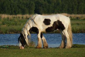 Gypsy Vanner by Seluias-stock