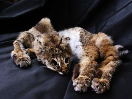 Bobcat pelt by WoroTax