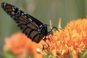 Monarch and Butterfly Weed 2 by S-H-Photography