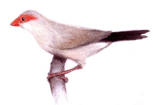 Red-eared waxbill by yumeruby