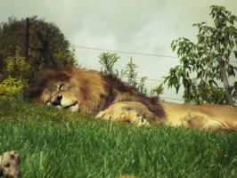 Sleeping Lion by little-gold-fish