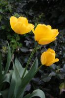 Yellow Tulips by jadenfangirl