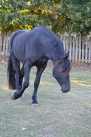 Tempest Friesian Horse Stock14 by blue-eyed-book-lover