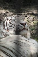 white tiger by Lynxwing