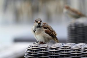 Fluffy Passer domesticus by pagan-live-style