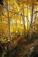 Morning Aspen by bluefishrun