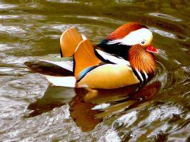 Mandarin Duck by Dieffi