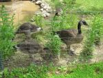 Goslings Behind Bars 2 by Windthin