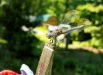 Dragonfly on the Clothesline 5 by ArjaySKing