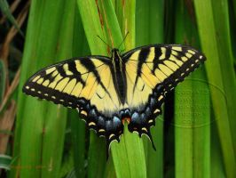 E. Tiger Swallowtail - basking by Foozma73