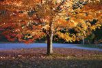 Maple Tree by waughtercolors