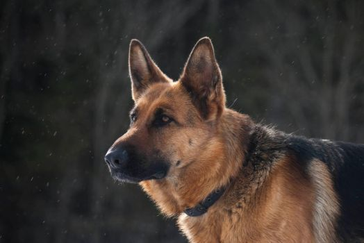German Shepard by Snofte