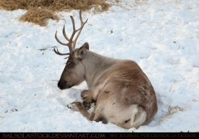 Caribou 2 by SalsolaStock