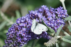 syringa with butterfly 2 by ingeline-art