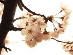 Cherry blossom 3 by marimoL3