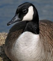 Goose profile by masscreation