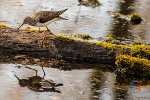 Solitary Sandpiper by MastersImagingPhotos