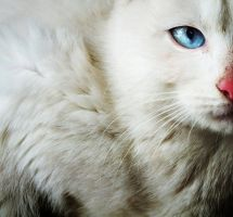 the White Cat with blue eye by noxyzz