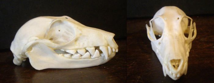 Flying Fox skull by Tea-and-Taxidermy
