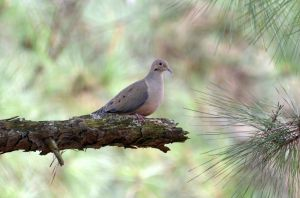 Dove 1-13-14 by Tailgun2009