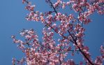 First Cherry Blossoms of 2011 by go4music