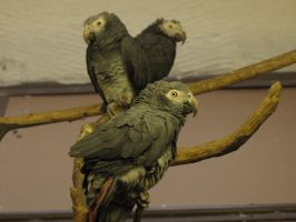 African Grey Parrot by animalphotos