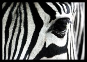 ZeBrA CroSsInG by genr