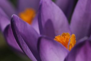 Crocus by Bloblah