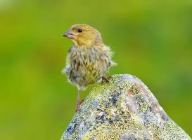 European Greenfinch II by nordfold