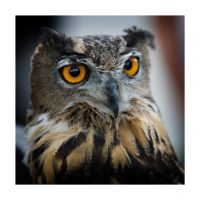 Owl by AstridT