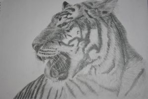 Tiger Study by AmanSahota