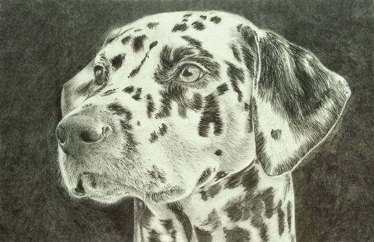 One Dalmatian by tagroves
