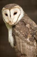 Masked Owl 2 by DanielleMiner