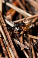 Ant by trencapins