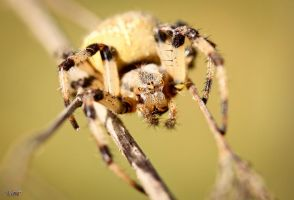 Cross spider by valiunic