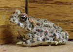 Baby Toad 3 by kayosa-stock
