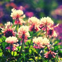 White Clover by incolor16