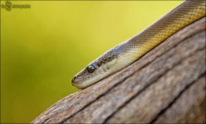 Snake Eye by ILTBY