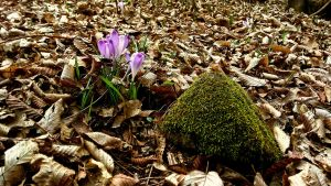 stone and crocus by ErvinOgrasevic